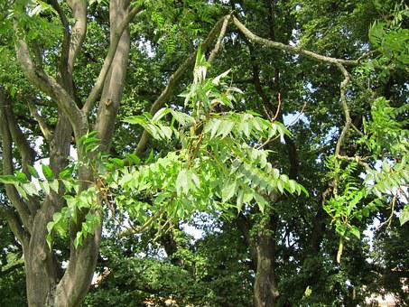 Ailanthus Altissima, Tree Of Heaven, Flora, Botany
