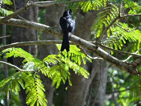 Racket-tailed Drongo, Bird, Dicrurus Remifer, Dandeli