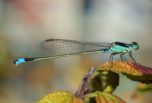 Dragonfly, Senegal Pechlibelle, Ischnura Senegalensis