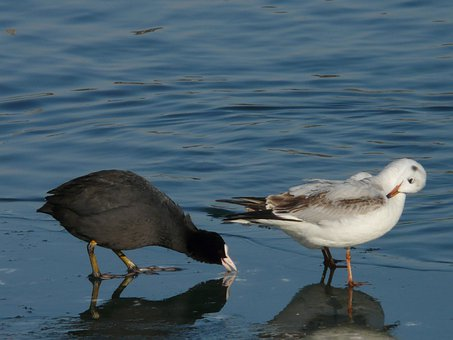 Coot, Seagull, Pair, Black And White, Waterfowl