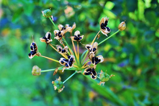 Black Seeds, Seeds, Small, Black, Seedpods, Dry, Brown