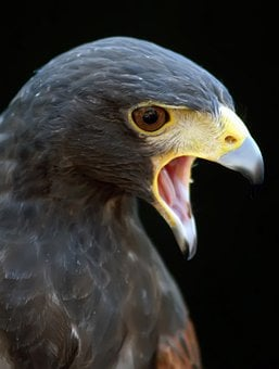 Animal, Harris, Hawk, Hunter, Space, Action, Angry