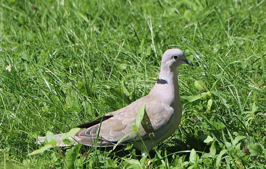 Dove, Grass, Collared, Grey, Green, Birds, Nature, Bird