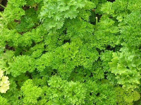 Parsley, Spice, Herbs, Herb, Plant, Cook, Food, Eat