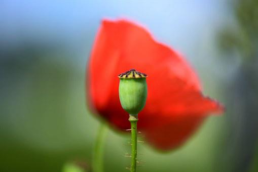 Poppy Capsule, Spiny, Macro, Close, Prickly, Plant