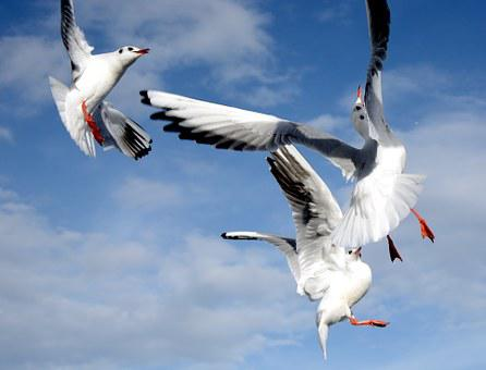 Gulls, Fight, Dispute, Bird, Fly, Freedom, Sky, Lake
