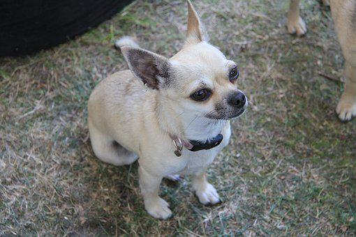 Chihuahua, Dog, Cute, Small, Pappy, Pet, Breed