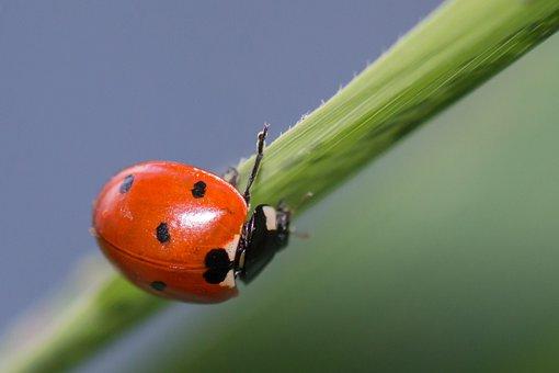 Ladybug, Ladybird, Coccinella Septempunctata, Elytra