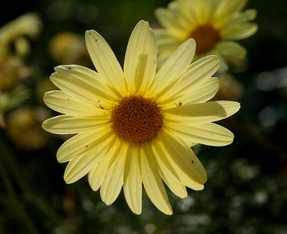Daisy, Soft Yellow, Petals, Dainty, Concentric