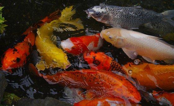 Aquarium Fish, Colored Carp, Koi, Fish, Breeding, Vivid