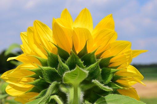 Sun Flower, Close, Yellow, Blossom, Bloom