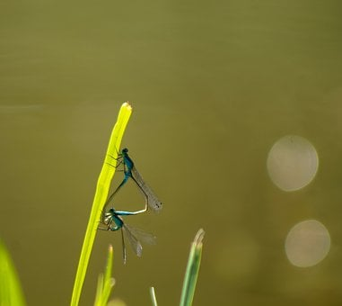 Dragonfly, Dragonfly Mating, Mating, Mate Choice, Love