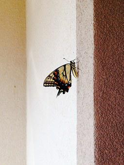 Old World Swallowtail, Papilio Machaon, Butterfly