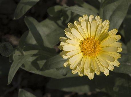 Marigold, Flowers, Orange, Blossom