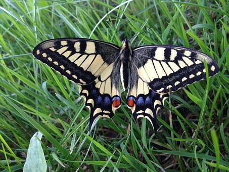 Butterfly, Dovetail, Butterflies, Papilio Machaon