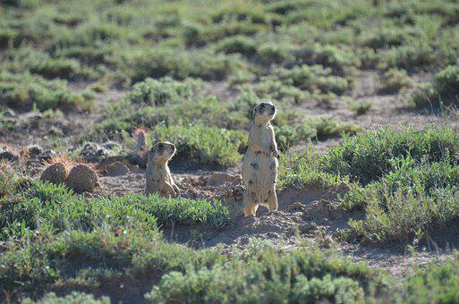 Prairie Dog, Prairie, Desert, Wildlife, Mammal, Nature