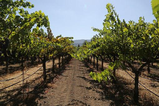 Napa Valley, Petite Verdot, Grapes, Wine, Wine Country