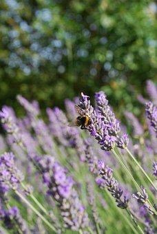 Lavender, Summer, Bed, Purple