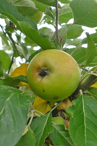 Apple, Tree, Fruit, Green, Branch, Close, Healthy