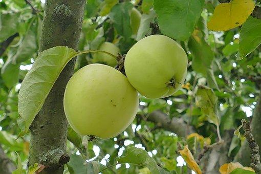 Fruit, Apple, Couple, Tree, Green, Branch, Close