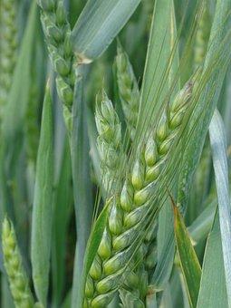 Cereals, Barley Field, Grain, Cereal, Field, Ear