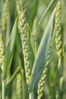 Cereals, Barley Field, Grain, Cereal, Field, Cornfield