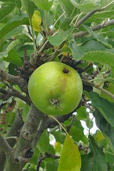 Apple, Tree, Fruit, Green, Maggoty, Branch, Close