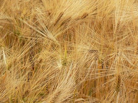 Agriculture, Spike, Grain, Food, Arable, Wheat Field