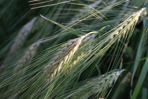 Cornfield, Narur, Seed, Grain, Wheat Field