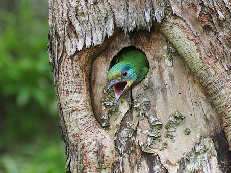 Colored Birds, Nestling, Monk, Muller's Barbet