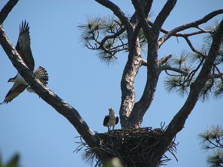 Sky, Bird, Osprey, Nest, Three, Flying, Eagle