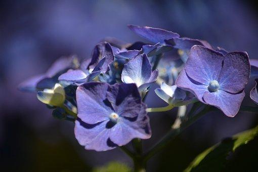 Hortensia, Flower, Flowers, Violet, Flowery, Garden