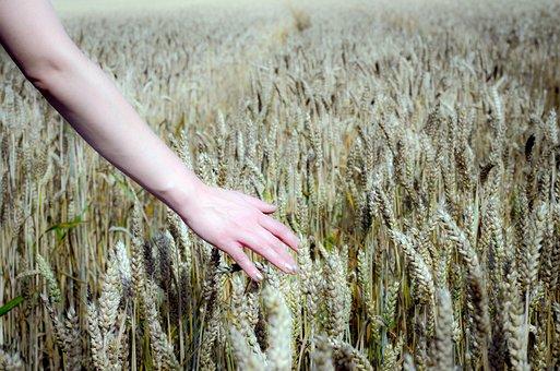 Wheat Field, Field, Wheat, Cereals, Grain, Arable