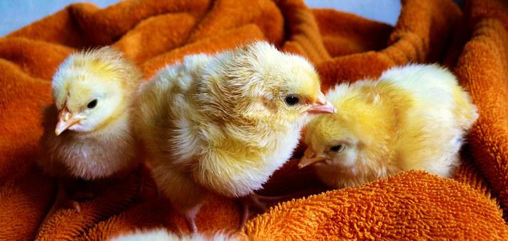 Chicks, Animal, Fluffy, Poultry, Young Animals