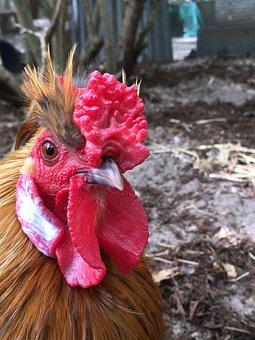 Hens, Chook, Chooks, Celebrate, Celebration, Cute