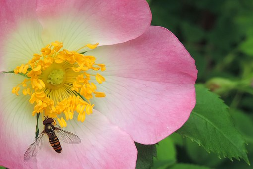 Wild Rose Flower, Wild Bee, Insect, Rose Hip, Blossom
