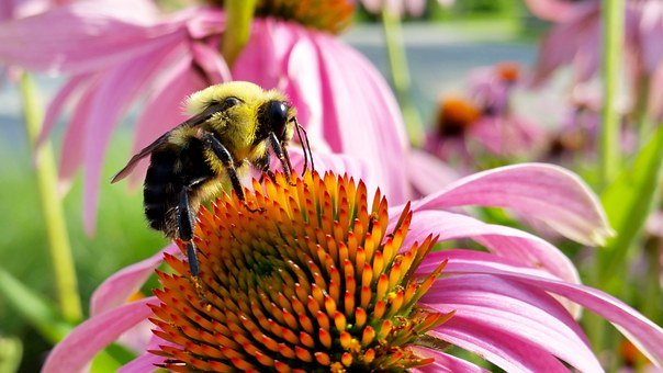 Bee, Coneflower, Insects, Bumblebee
