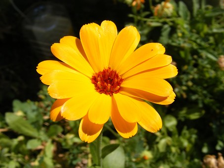 Calendula, Cosmetic, Culinary, Flowers, Homeopathic