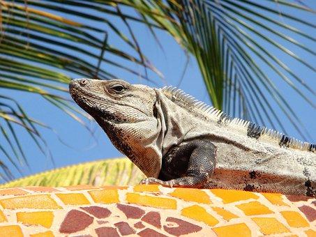 Iguana, Mexico, Palm, Lizard, Nature, Wild, Wildlife