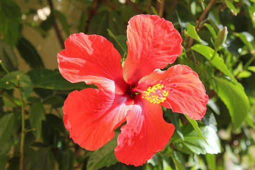 Flower, Hibiscus, Red, Nature
