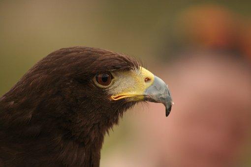 Harris Hawk, Raptor, Bird, Hawk, Harris, Nature