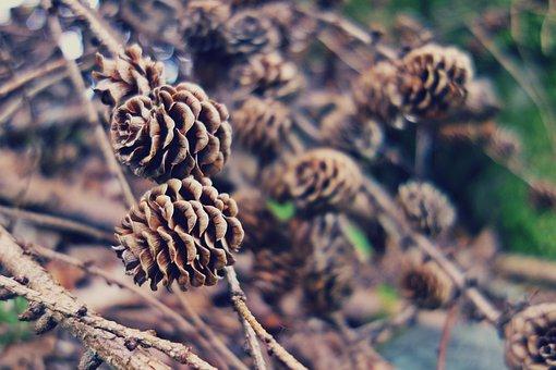 Branches, Close-up, Macro, Nature, Pine Cones, Trees