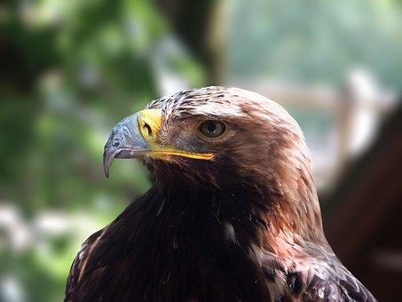 Harris Hawk, Raptors, Bird, Eyes, Beak, Nature, Fauna