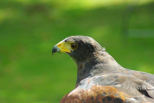 Hawk, Harris, Bird, Prey, Head, Beak, Hunting, Nature
