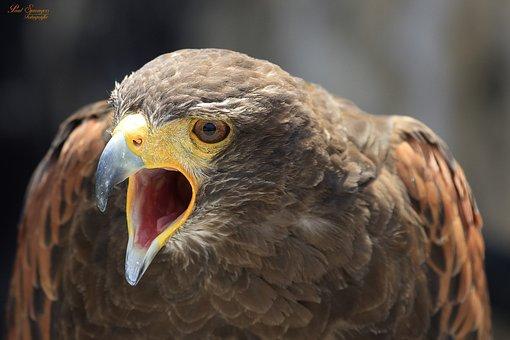 Bird Of Prey, Birds, Nature, Harris ' Hawk
