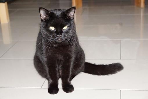 Cat, Black, Sit, Animal, Pet, Full, Barsik, Fur, Velvet
