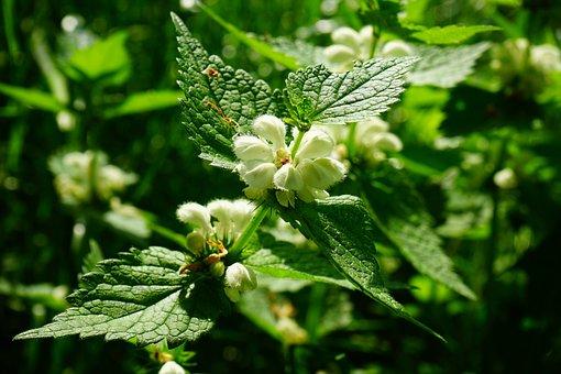 White Deadnettle, Dead Nettle, Flower, Plant, White