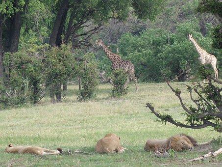 Africa, Botswana, Animals, Okavango Delta, Lions