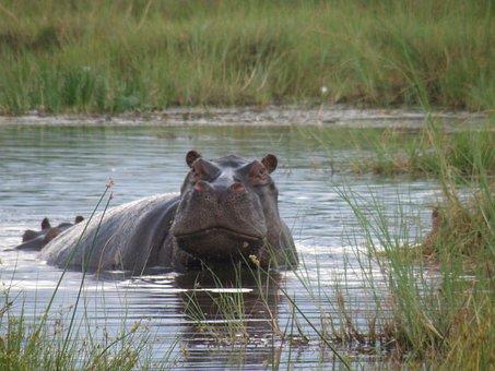 Hippo, Hippopotamus, Wild, Mammal, Wildlife, Dangerous