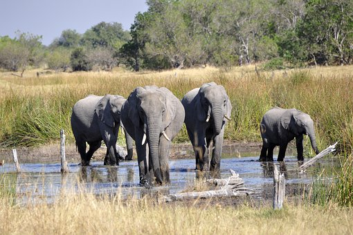 Elephant, Africa, Okavango Delta